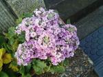 町で見かけた花シリーズ0743