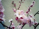 町で見かけた花シリーズ0755