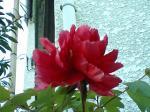 町で見かけた花シリーズ0793