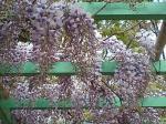 町で見かけた花シリーズ0795
