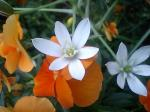 町で見かけた花シリーズ0797