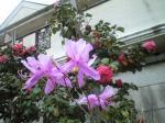 町で見かけた花シリーズ08106