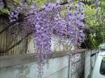 町で見かけた花シリーズ08117