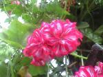 町で見かけた花シリーズ08141
