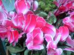 町で見かけた花シリーズ08017