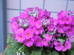 町で見かけた花シリーズ08001