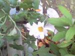 町で見かけた花シリーズ08021