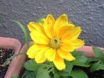 町で見かけた花シリーズ08223