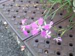 町で見かけた花シリーズ08231