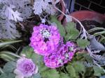 町で見かけた花シリーズ08025