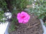 町で見かけた花シリーズ08026