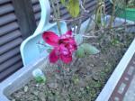 町で見かけた花シリーズ08027