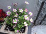 町で見かけた花シリーズ08037