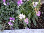 町で見かけた花シリーズ08046