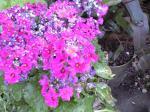 町で見かけた花シリーズ08055
