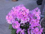 町で見かけた花シリーズ08059