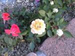町で見かけた花シリーズ08066