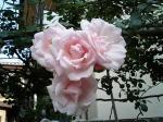 町で見かけたバラ