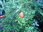 町で見かけた花シリーズ116