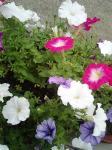 町で見かけた花シリーズ20