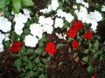 町で見かけた花シリーズ4