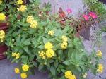 町で見かけた花シリーズ57