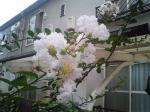 町で見かけた花シリーズ62