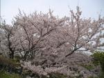 20060409桜
