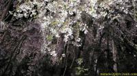 ライトアップされた三春滝桜 近影(2009/04/18 20:59)