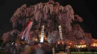 ライトアップ終了後の三春滝桜(2009/04/18 21:01)