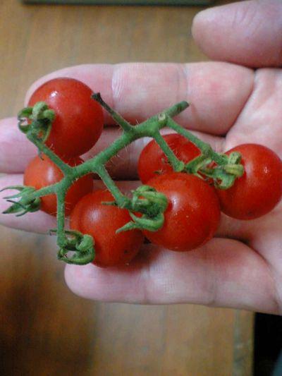 tomato200609.jpg