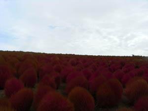 コキア紅葉