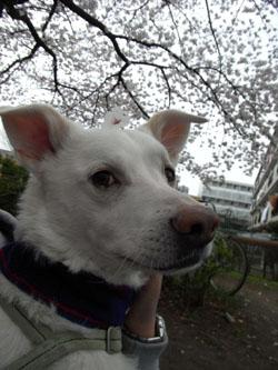 桜のっけてピクシィさん