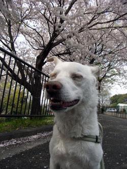 桜の下で・・・変な顔