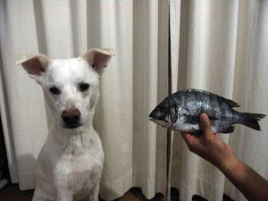黒鯛 vs ピクシィ