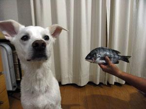 黒鯛 vs ピクシィ2