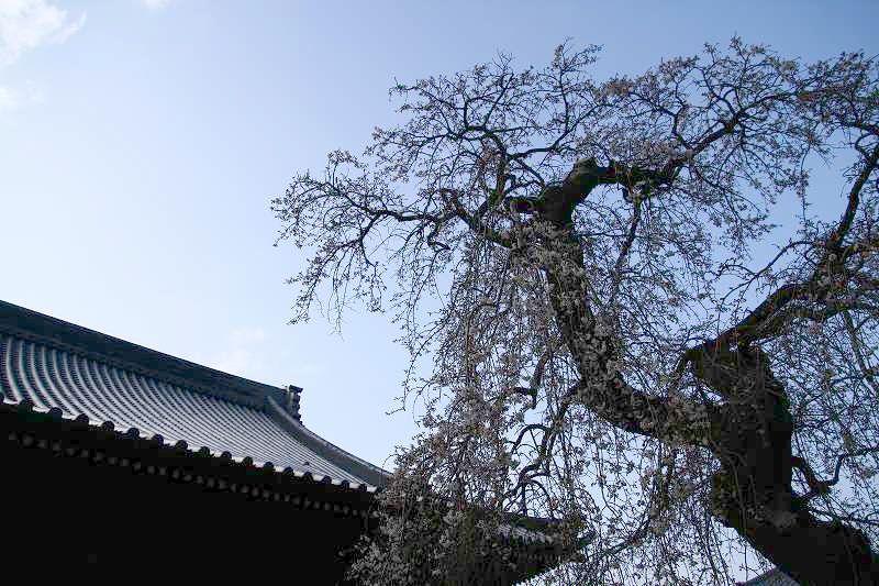 s-桜20080328 093