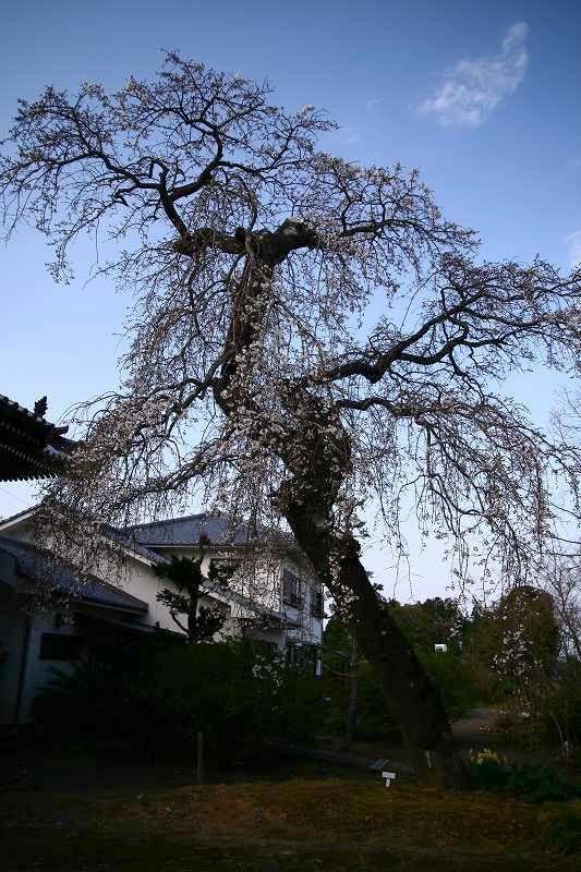 s-桜20080328 103