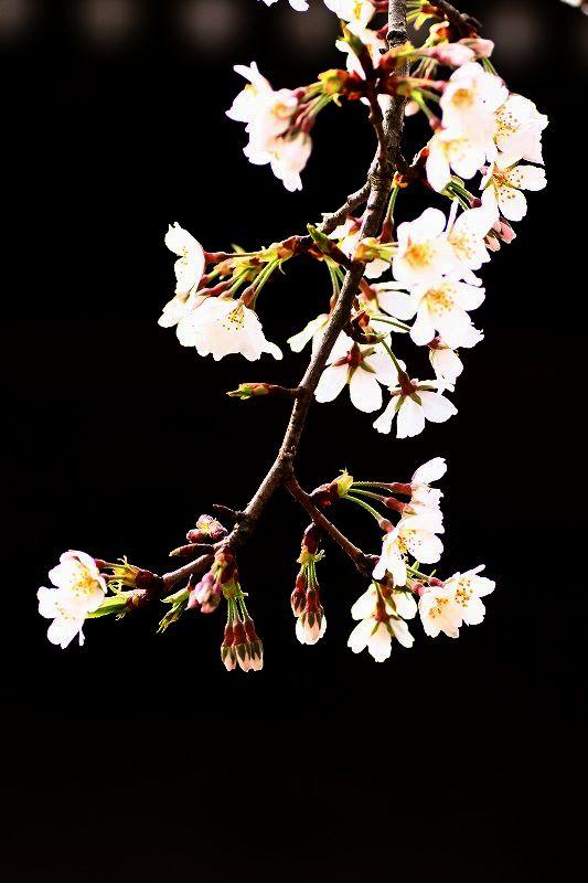 s-桜20080328 059