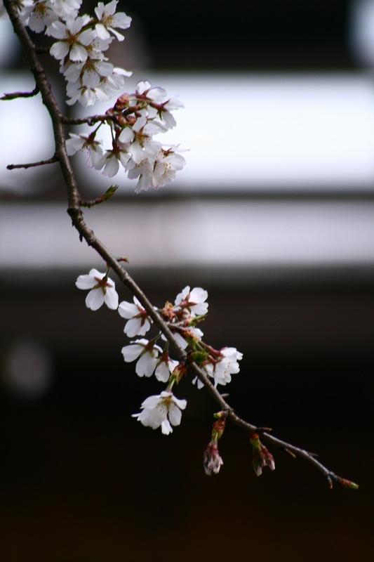 s-桜20080328 083