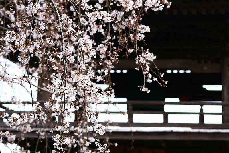s-桜20080328 080