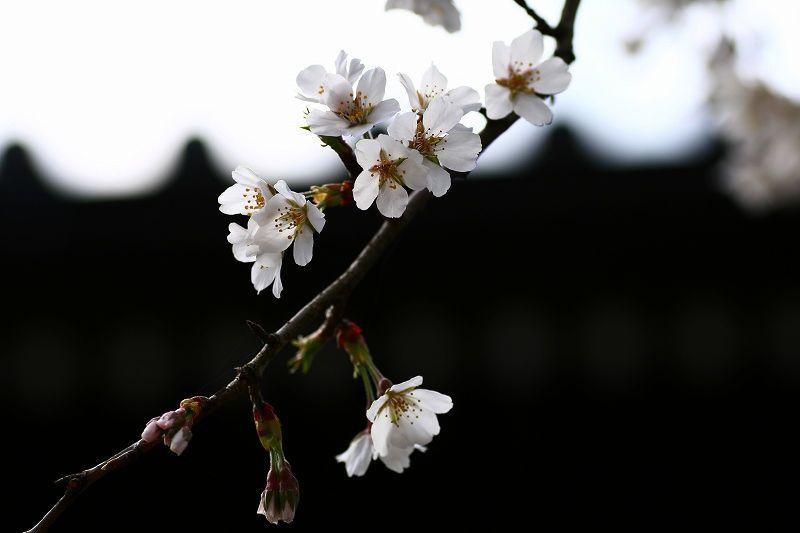 s-桜20080328 069