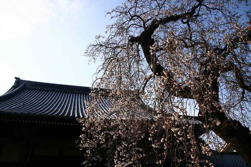 s-桜20080328 119