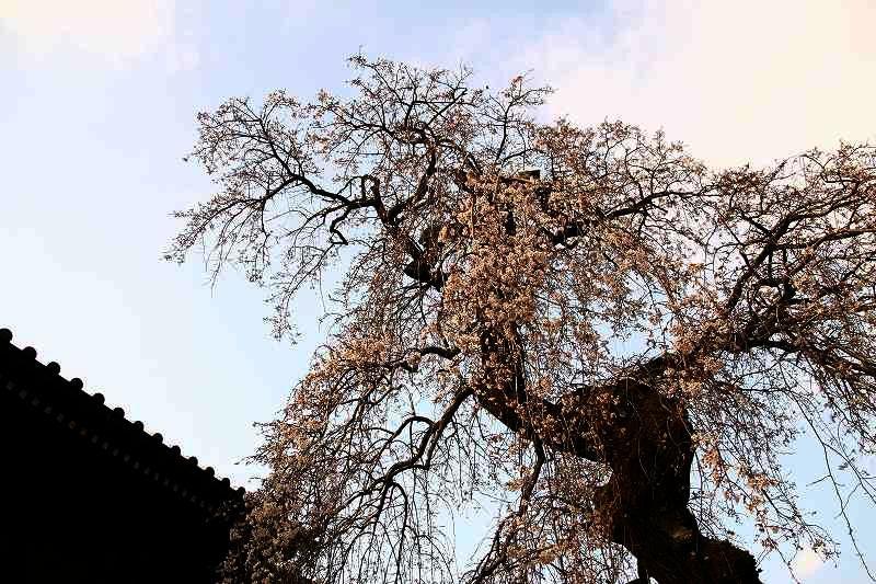 s-桜20080328 141
