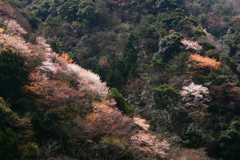 s-桜津久見臼杵20080329 058