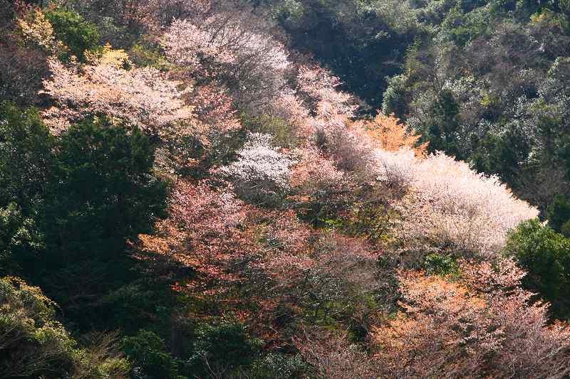 s-桜津久見臼杵20080329 060