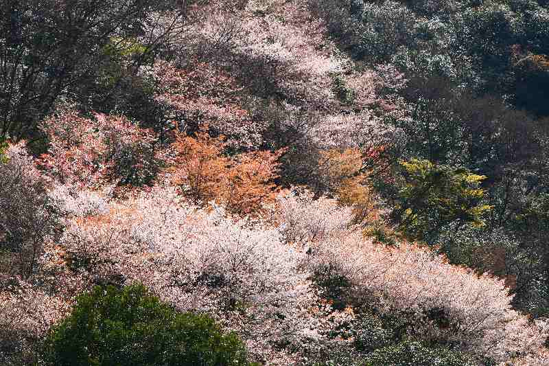 s-桜津久見臼杵20080329 070