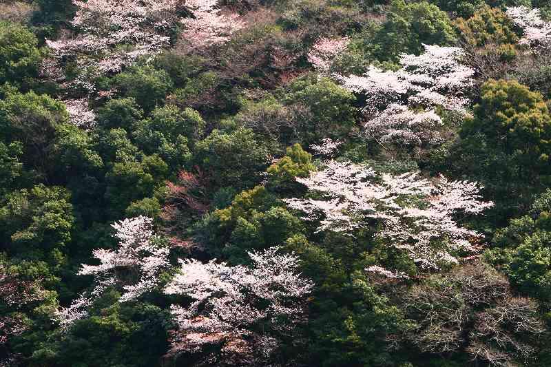 s-桜津久見臼杵20080329 083