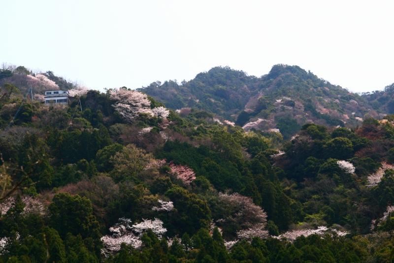 s-桜津久見臼杵20080329 091