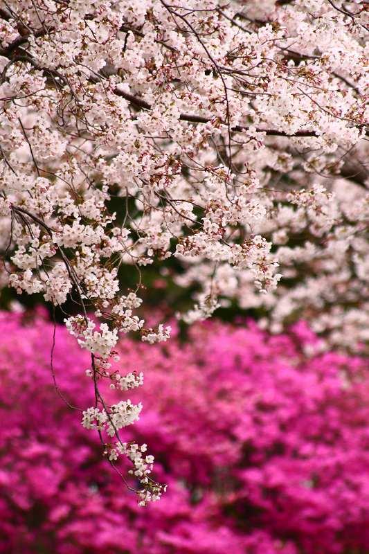 s-桜別府20080402 057